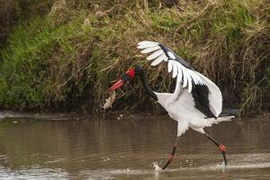 Kenya, saddle-billed stork, with fish by George Theodore