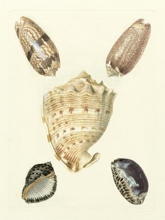 Knorr Shells IV