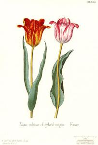 Tulipa Cultivar by George Wolfgang Knorr