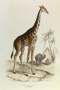 The Giraffe, 'Quadrupeds', from De Buffon by Georges-Louis Leclerc