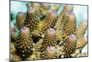 Acropora Plate Coral Polyps by Georgette Douwma