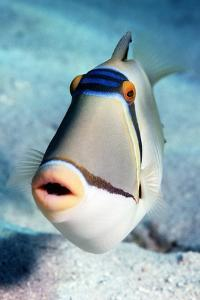 Arabian Picasso Triggerfish by Georgette Douwma