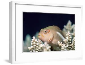 Arc-eye Hawkfish by Georgette Douwma