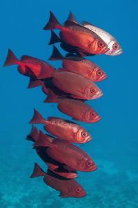 Big-Eye Fish (Priacanthus Hamrur). Egypt, Red Sea by Georgette Douwma