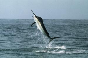 Black Marlin by Georgette Douwma
