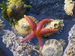 Blood Star, with Limpets and Barnacles Exposed at Low Tide, Tongue Point, Washington, USA by Georgette Douwma