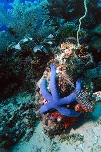 Blue Linckia Starfish by Georgette Douwma