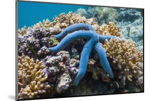 Blue Starfish (Linckia Laevigata) Malaysia by Georgette Douwma