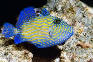 Blue Triggerfish by Georgette Douwma