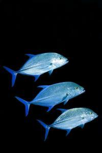 Bluefin Trevally Fish by Georgette Douwma