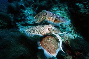 Broadclub Cuttlefish Reproduction by Georgette Douwma