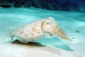 Broadclub Cuttlefish by Georgette Douwma