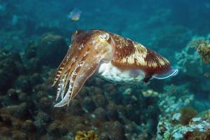 Broadclub Cuttlefish by Georgette Douwma