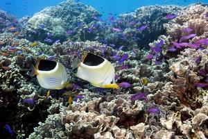 Butterflyfish And Purple Anthias Fish by Georgette Douwma