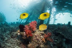 Butterflyfish Over a Reef by Georgette Douwma