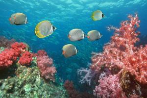 Butterflyfish Over Corals by Georgette Douwma