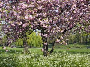 Cherry Tree, in Blossom, Regents Park, London, UK by Georgette Douwma