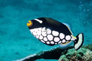 Clown Triggerfish by Georgette Douwma