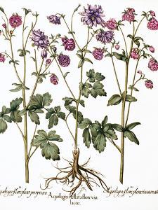 Columbine Flowers by Georgette Douwma