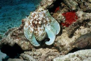 Common Octopus by Georgette Douwma