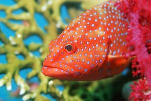 Coral Hind Grouper by Georgette Douwma