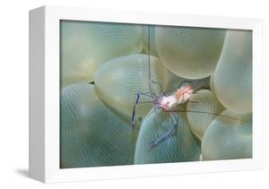 Coral Shrimp by Georgette Douwma