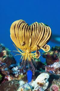 Crinoid Or Featherstar (Crinoidea Sp.) by Georgette Douwma