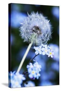 Dandelion Seed Head by Georgette Douwma