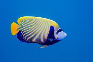 Emperor Angelfish by Georgette Douwma