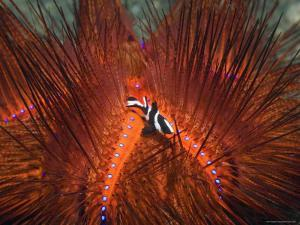Emperor Snapper, Juvenile Sheltering, False Fire Urchin, Lembeh Strait, North Sulawesi, Indonesia by Georgette Douwma