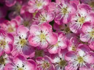 English / Midland Hawthorn, Close-Up of Flowers, UK by Georgette Douwma