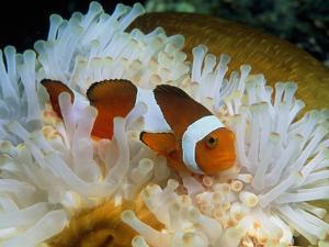 False Clown Anemone Fish by Georgette Douwma