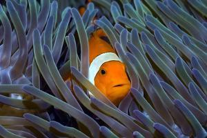 False Clown Anemonefish by Georgette Douwma