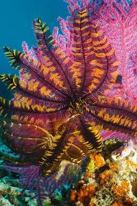 Featherstar on Gorgonian Coral by Georgette Douwma