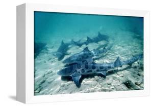 Female Leopard Sharks by Georgette Douwma