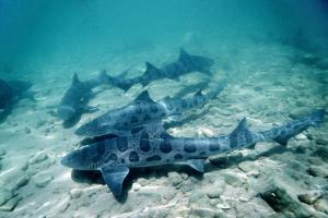 Female Leopard Sharks by Georgette Douwma