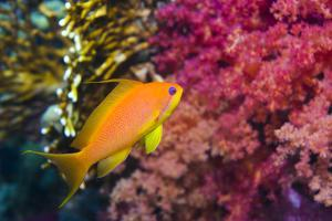Female Lyretail Anthias by Georgette Douwma