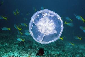 Fish And Jellyfish Over a Coral Reef by Georgette Douwma