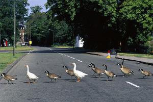 Geese Crossing a Road by Georgette Douwma