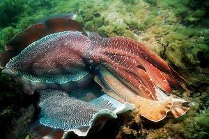 Giant Cuttlefish Males Fighting by Georgette Douwma