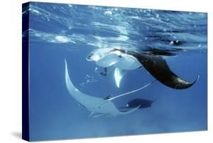 Giant Manta Rays by Georgette Douwma