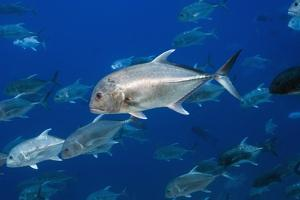 Giant Trevally Fish by Georgette Douwma