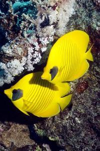Golden Butterflyfish Pair by Georgette Douwma