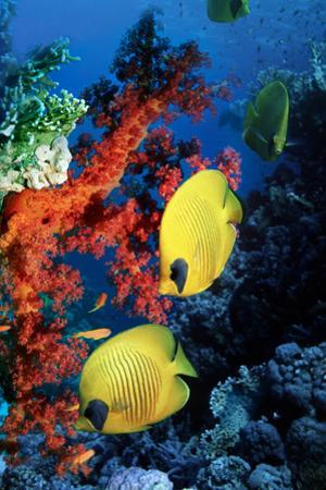 Golden Butterflyfish by Georgette Douwma