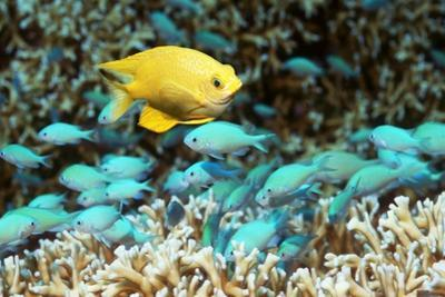 Golden Damselfish And Blue-green Chromis by Georgette Douwma