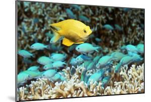 Golden Damselfish And Blue-green Chromis by Georgette Douwma