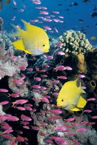 Golden Damselfish with Anthias by Georgette Douwma
