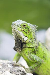 Green Iguana by Georgette Douwma