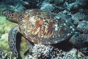 Green Sea Turtle by Georgette Douwma