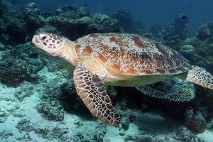 Green Turtle by Georgette Douwma